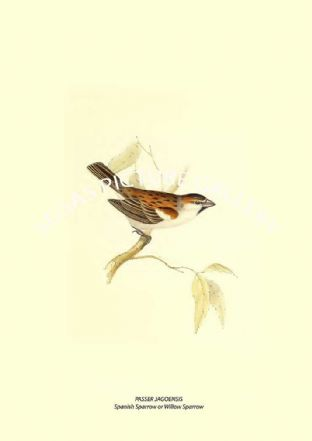 PASSER JAGOENSIS --- Spanish Sparrow Or Willow Sparrow
